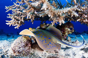 Blue spotted ray by Gleb Tolstov 